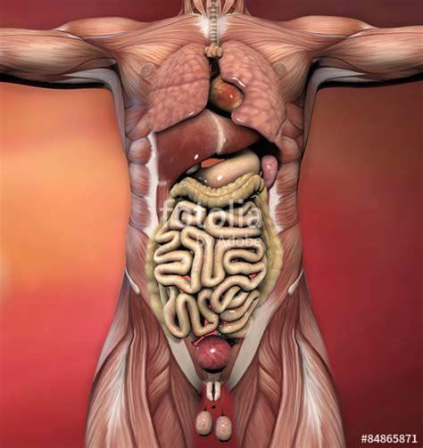 Corpo Umani Organi Interni Quot Corpo Umano Maschile Anatomia Muscoli E Organi Quot Stock