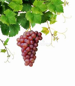 Grapevine With Ripe Pink Grape Cluster Stock Image - Image ...
