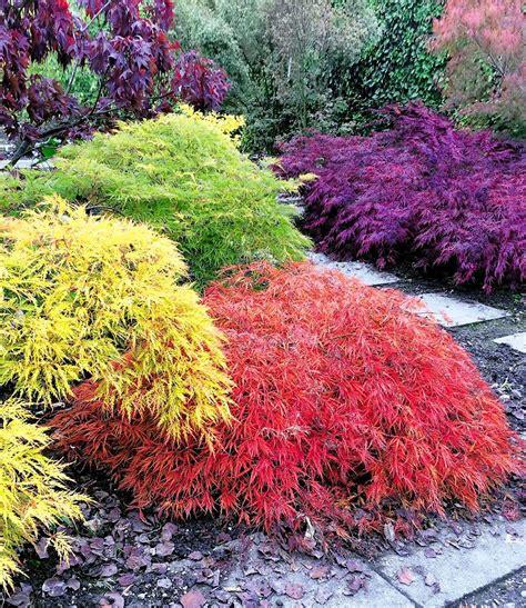 Japanischer Garten Ahorn by Japanische Ahorn Kollektion Mount Fuji Garten
