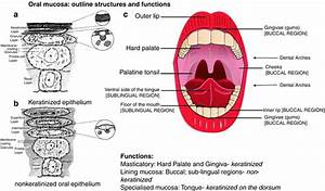Structure And Functions Of The Oral Mucosa