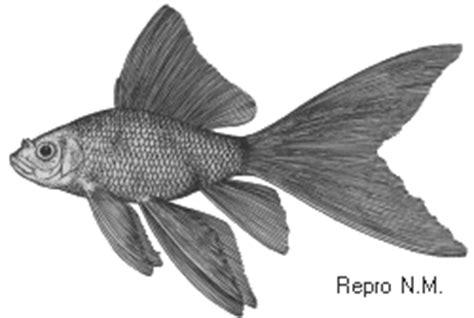 goldfische quot einfachschw 228 nze quot