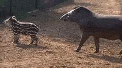 baby tapirs GIFs | Find, Make & Share Gfycat GIFs