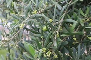 Olivenbaum Im Topf : k belpflanzen pflege ~ Michelbontemps.com Haus und Dekorationen