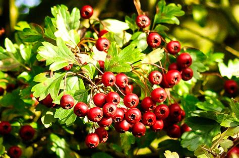 Rote Beeren Strauch Herbst by Autumn Breaks For Families And Couples In