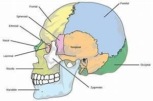 Human Axial Skeleton