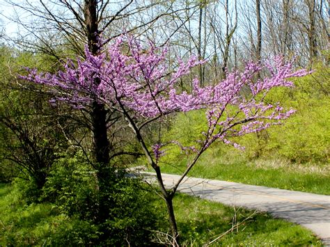 eastern redbud trees cercis canadensis wikiwand