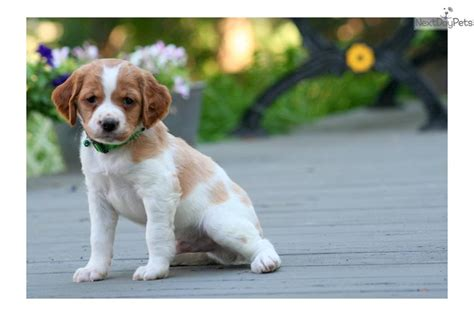 pictures of french brittany spaniels dog breeds picture