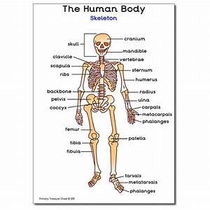 U0026 39 Human Skeleton U0026 39  A4 Poster  With Labels