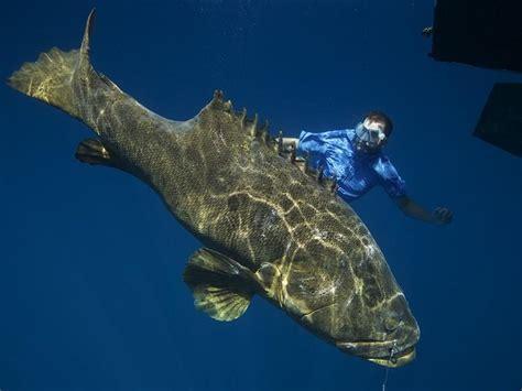 goliath monsterfish