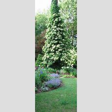 Incredible Mature Climbing Hydrangea Rambling Up A Tree