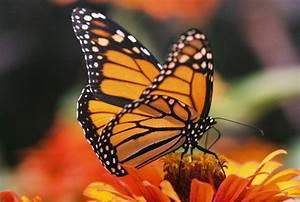 Monarch On Zinnia