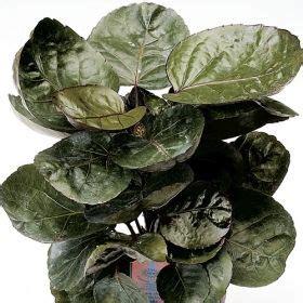 pin     foliage varieties