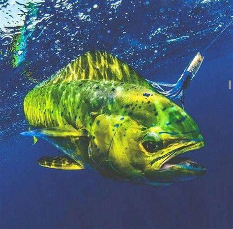 fish fishing mahi florida keys water saltwater salt sea paintings deep sport ocean floyfishingtips fly tuna chance trout fleyfishingtips josh
