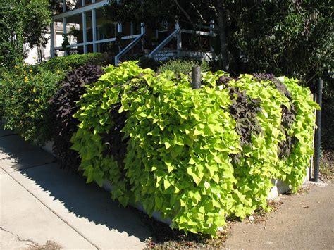 sweet potatoe vine online plant guide ipomoea batatas sweet potato vines