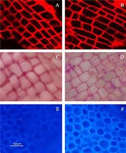 Propidium Iodide Staining  A  B   Ruthenium Red Staining  C  D   And