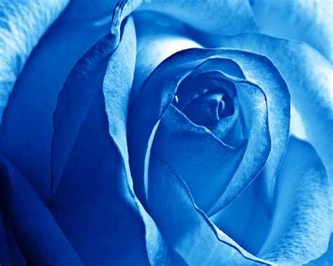blue rose wallpapers hd wallpapers id