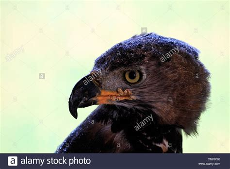 eagle 3 comp african crowned eagle stock photos african crowned eagle