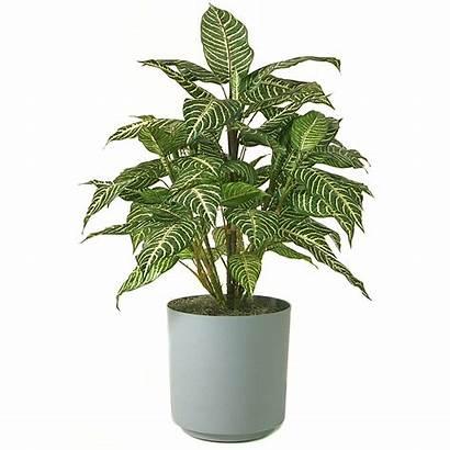 Plant Plants Zebra Friendly Low Maintenance Clipart