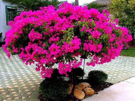 resep herbal dari tanaman bugenvil untuk kesehatan