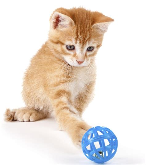 fascinating facts  domestic shorthair cats