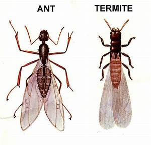 Why do some ants have wings for Winged ants in bathroom