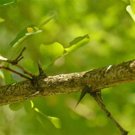 Mit Dornen by Baumrinde Die Haut Des Baumes Baumpflegeportal