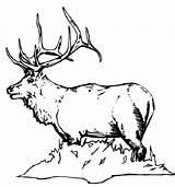 Elk Coloring Bull Colornimbus sketch template