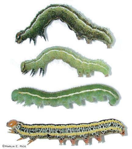 soybean loopers alfalfa  zebra caterpillars