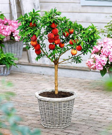 alberi da frutto in vaso come coltivare gli alberi da frutto in vaso