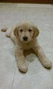 122 best Baby golden retrievers images on Pinterest | Baby ...