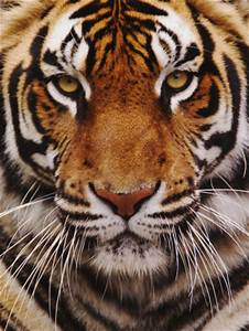 Bengal Tiger Face, Panthera Tigris, Asia | Tiger face and ...