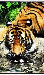 Tiger at Cincinnati Zoo | Cincinnati zoo, Malayan tiger ...