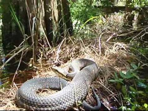 moccasin  snake encounters easter walks  florida