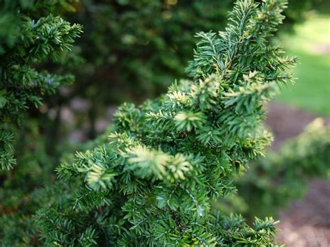 whats  difference  evergreens  conifers