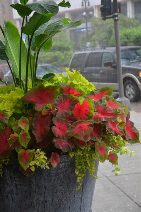 Large Container Planting  Lime Foliage  Shade Plants