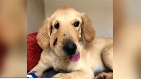 98 Golden Retriever Puppies For Sale Puppyspot Hi Line