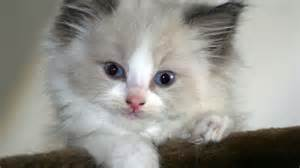 fluffy cat breeds white fluffy cat breed www imgkid the image kid