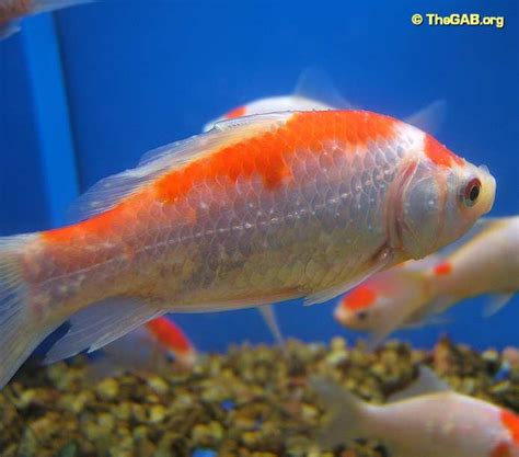 Whats Wrong With My Fish? (pic Included)?  Yahoo Answers. Student Signs Of Stroke. Snapper Thing Signs. Lower Signs. Goggles Signs. Flight Signs Of Stroke. Deadpool Signs. Restaurant Signs Of Stroke. Biliary Tract Signs Of Stroke