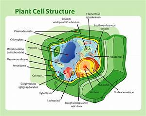 File Plant Cell Structure Png