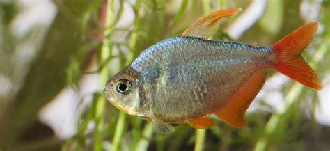 colombian red fin behaviour shoaling habitat size water ph