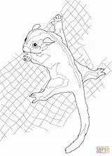 Glider Sugar Coloring Possum Pages Drawing Beanie Baby Boo Clipart Drawings Printable Line Template Supercoloring Getdrawings Cliparts Clip Silhouettes Sketch sketch template