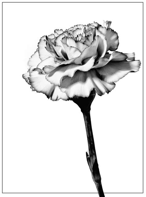carnation drawing - Google Search | Birth flower tattoos, Flower tattoos, Carnation flower tattoo