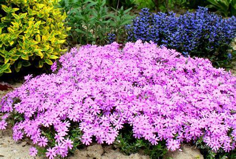 colorful perennials partial sun flowers savingourboys info
