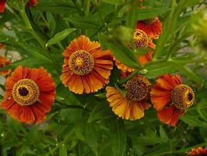 Arbuste Plein Soleil Longue Floraison : fleurs orange vivace ~ Premium-room.com Idées de Décoration