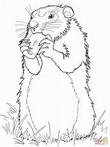 Groundhog Coloring Pages Groundhogs Ground Woodchuck Drawing Hog Apple Gopher Print Realistic Printable Squirrel Eats Arctic Worksheet Sheets Draw Find sketch template