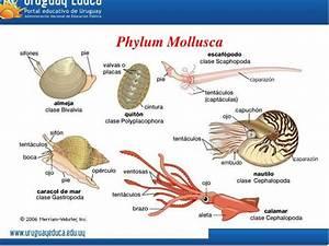 PPT - Phylum Mollusca PowerPoint Presentation - ID:2998588  Phylum