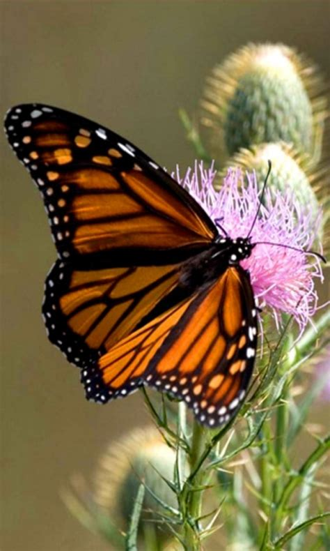 Animated Butterfly Wallpaper Free - free wallpapers and screensavers butterflies wallpapersafari
