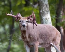Whitetail Deer Shedding Velvet by Deer White Tailed Buck Odocoileus Virginianus Cervidae