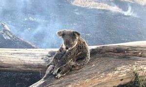 nsw fires  destructive thousands  koala bodies