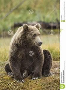 Coastal Brown Bear Royalty Free Stock Photography - Image ...
